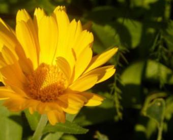 omeopatia-salute-calendula-officinalis